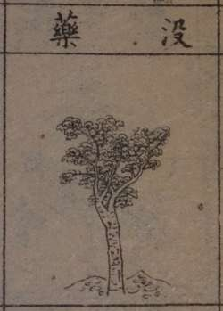 Ancient drawing of commiphora tree
