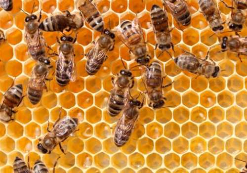 Honeybees work in hive